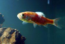 شایع ترین علل قارچ پنبه ای ماهی | دام و پت