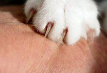 بیماری خراش گربه چیست؟   دام و پت