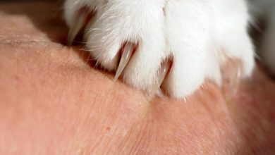 بیماری خراش گربه چیست؟ | دام و پت