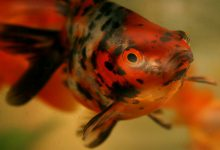 چگونه سوختگی آمونیاک در ماهی درمان می شود؟ | دام و پت