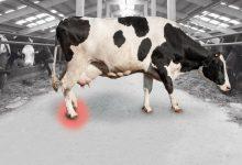 علل لنگیدن گاو | دام و پت