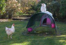 نگهداری مرغ با سگ و گربه | دام و پت