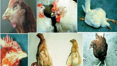 شایع ترین بیماری در مرغ ها | دام و پت