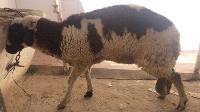 کمبود کبالت در گوسفندان | دام و پت