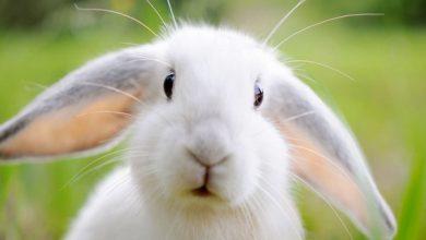 آبریزش بینی خرگوش ها | دام وپت