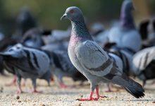 پرورش کبوتر، راهنمای کلی برای مبتدیان | دام و پت