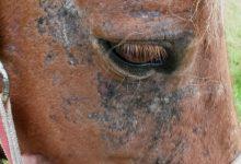 عفونت های قارچی در اسب ها | دام و پت