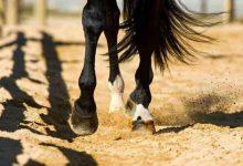 شکستگی پای اسب و چالش های درمانی آن | دام و پت