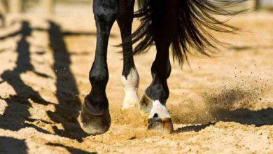 شکستگی پای اسب و چالش های درمانی آن   دام و پت