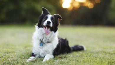 باهوش ترین نژاد سگ ها کدامند؟ | دام و پت