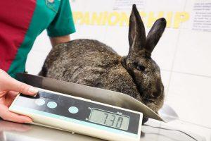 علائم پیری در خرگوش ها   دام و پت