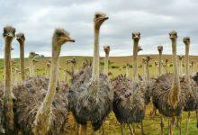 پرورش شتر مرغ: راهنمای مبتدیان   دام و پت