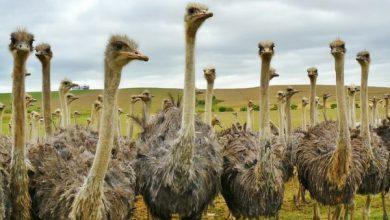 پرورش شتر مرغ: راهنمای مبتدیان | دام و پت