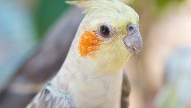 شایع ترین تومورها در پرندگان | دام و پت