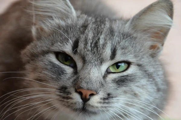 بوتولیسم گربه | دام و پت