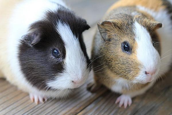 فرق خوکچه هندی و همستر | دام و پت