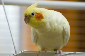 10 علائم خطرناک بیماری در پرنده خانگی | دام و پت