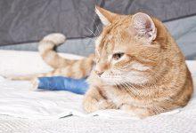 شکستگی اندام ها در گربه ها چگونه درمان می شود؟