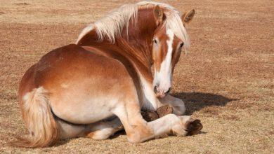 بیماری های مفاصل در اسب ها | دام و پت