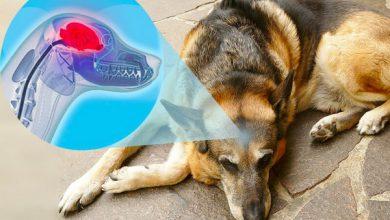 علائم زوال عقل در حیوانات خانگی   دام و پت