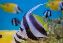 شایع ترین بیماری های ماهی آنجل | دام و پت