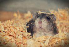 کیسه گونه همستر و بیماری های آن | دام و پت