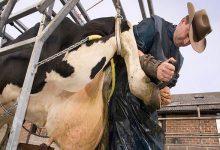 بیماری های مرتبط با لنگش در گاوها | دام و پت
