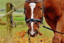 بوتولیسم در اسب ها   دام و پت
