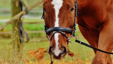 بوتولیسم در اسب ها | دام و پت