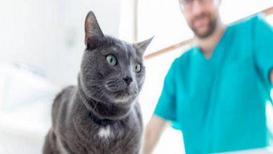 علل و درمان بیماری کلیه در گربه ها | دام و پت