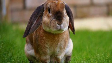 انواع بیماری ها در خرگوش پیر | دام و پت