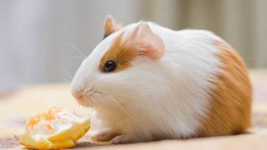 تغذیه خوکچه هندی با ویتامین C | دام و پت