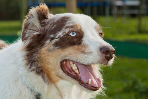 تربیت سگ گله | دام و پت