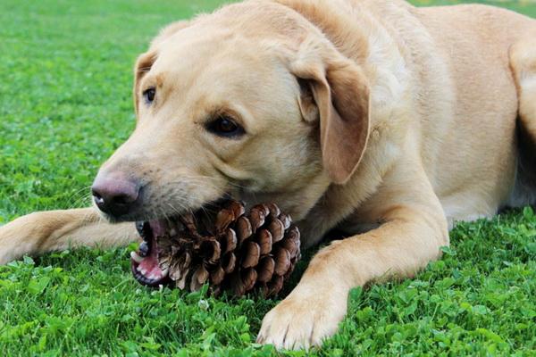 پیکا یا هرزه خواری در سگ ها   دام و پت