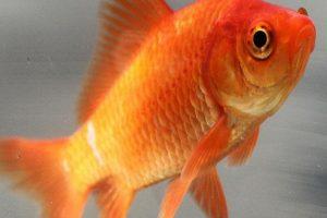 بیماری های شایع در ماهی قرمز | دام و پت