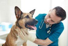 شایع ترین توده در سگ ها و علائم آنها | دام و پت