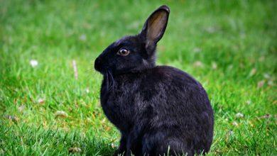 گوش های خرگوش چه می گویند + راهنمای زبان بدن   دام و پت