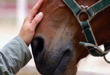 بیماری مشمشه یا گلندرز در اسب ها | دام و پت