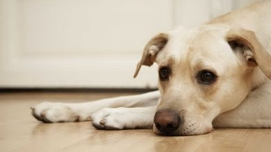 لپتوسپیروز در سگ ها، از علل تا درمان | دام و پت