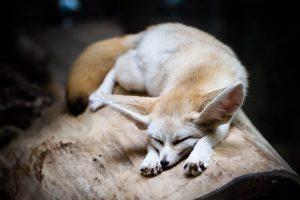 نگهداری از روباه به عنوان حیوان خانگی   دام و پت