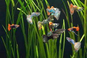 شایع ترین بیماری در ماهی های گوپی   دام و پت