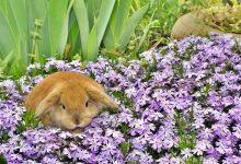 خرگوش لوپ هلندی   دام و پت