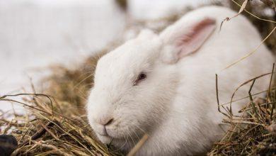 آیا استرس برای خرگوش کشنده است؟ | دام و پت