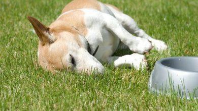 کولیت استرس در سگ چیست و چگونه درمان می شود؟   دام و پت