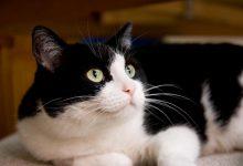 مگاکولون در گربه را چگونه درمان کنیم؟ | دام و پت