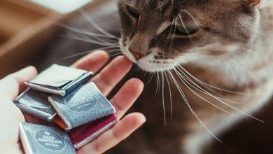 مسمومیت شکلات در گربه ها و عوارض آن | دام و پت