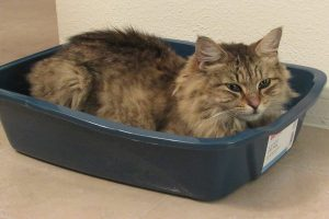 مگاکولون در گربه را چگونه درمان کنیم؟   دام و پت