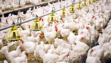پرورش مرغ گوشتی، راهنمای مبتدیان | دام و پت