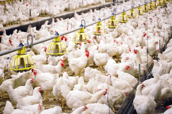 پرورش مرغ گوشتی، راهنمای مبتدیان   دام و پت