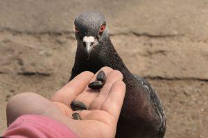 تغذیه کبوتر، راهنمای مبتدیان   دام و پت
